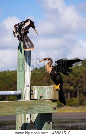 Two Anhinga Darters