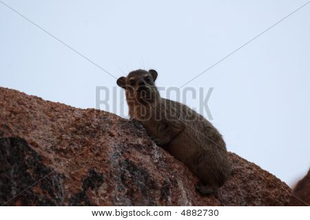 Rock Dassie (procavia Capensis)