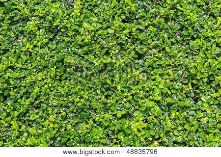 Green Fukien Tea Tree Background