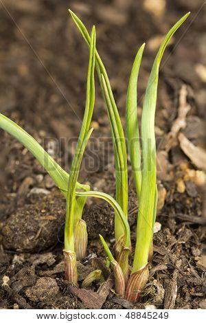Fresh New Garlic
