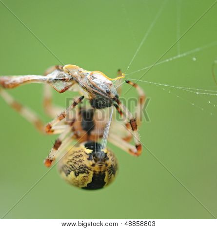 Live Black and Yellow Garden Spider with Prey. poster