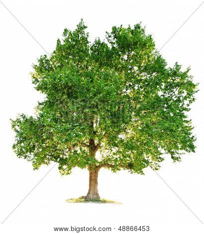 green maple tree isolated on white background poster