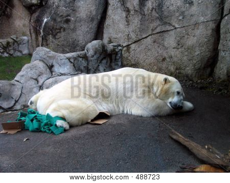 snoozing polar bear poster