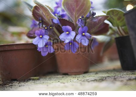 Closeup of flowering pot plants in greenhouse