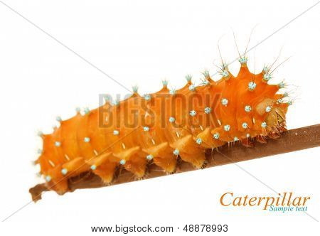 Caterpillar close-up isolated on white background