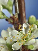 Plum blossom - extreme closeup of petals poster