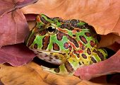 A baby ornate horned frog is hiding in some leaves. poster