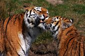 Tiger mother together with one of her cubs poster