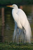 great egret by water poster