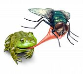 Frog catching bug with a sticky tongue shooting out as a nature concept of the natural cycle of life where a green amphibian eats a fly insect for survival on a white background. poster