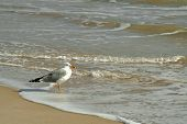 gull rest in the beach poster