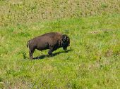 Large American Bison at the National Bison Range in Montana USA poster