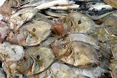 John Dory on a fishmonger's slab. Also on display are mackerel and some squid and plaice. poster