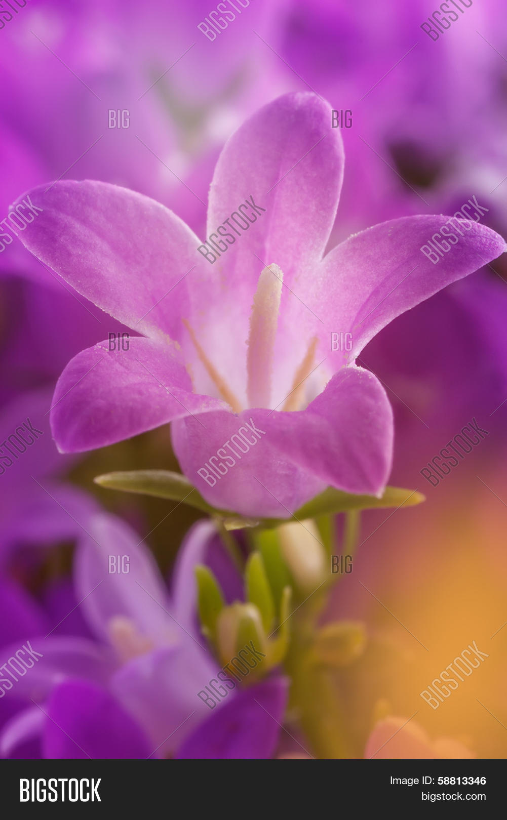 Lila Flower Details Image Photo Free Trial Bigstock