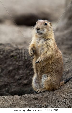 Prairie dog standing next to its hole. These animals native to the grasslands of North America poster