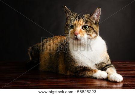 Young Torbie Kitten Cat Posing
