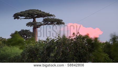 Baobab tree during sunset. Madagascar