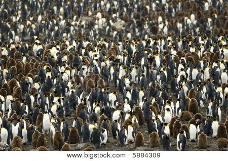 große überfüllten König Pinguin-Kolonie / Rookery.