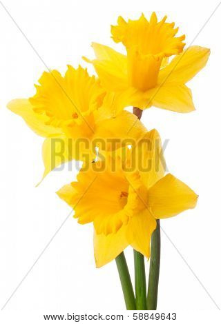 Daffodil flower or narcissus  bouquet  isolated on white background cutout