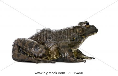 Side View Of Bullfrog, Rana Catesbeiana, Against White Background, Studio Shot