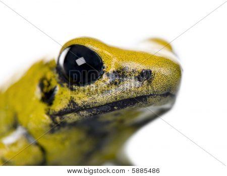 Close-up Of Golden Poison Frog, Phyllobates Terribilis, Against White Background, Studio Shot