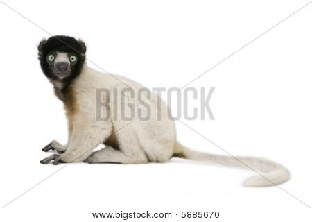Young Crowned Sifaka, Propithecus Coronatus, 1 Year Old, Sitting Against White Background, Studio Sh