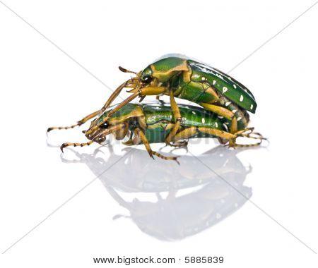 East Africa Flower Beetles Having Sex, Stephanorrhina Guttata, In Front Of White Background, Studio