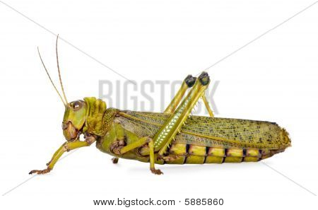 Side View Giant Guianas Locust