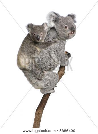 Koala 4 Years Old And 9 Months Old - Phascolarctos Cinereus