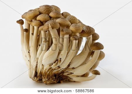 Asian brown beech mushrooms isolated on white