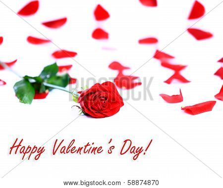 Red rose on petals background