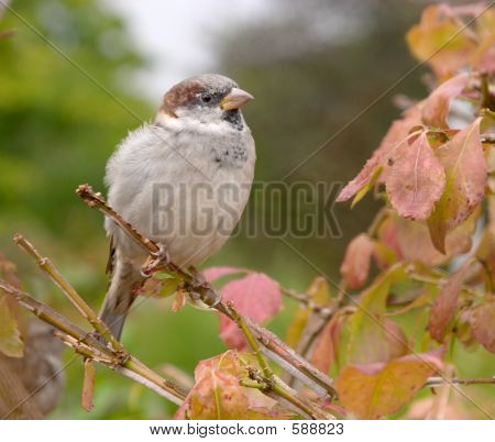 Brown House Sparrow