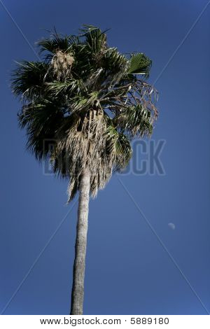 Palm Tree With Moon In The Sky.