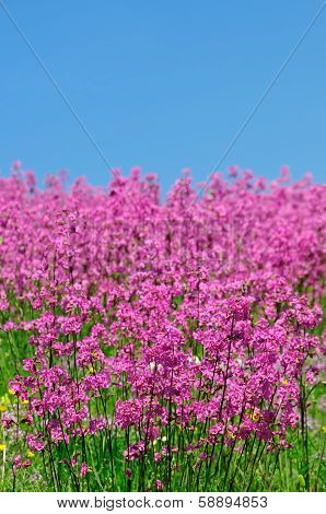 Pink spring flower field with blue sky