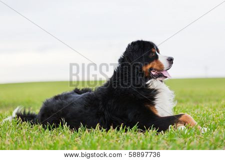 Bernese Mountain Dog lying on grass. Adult, purebred. Full body view