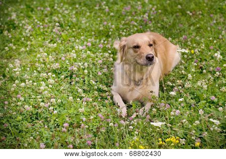 A dog laying on green meadow