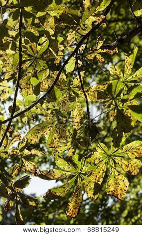Diseased Tree Leaves