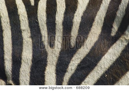 Zebra Stripes 2