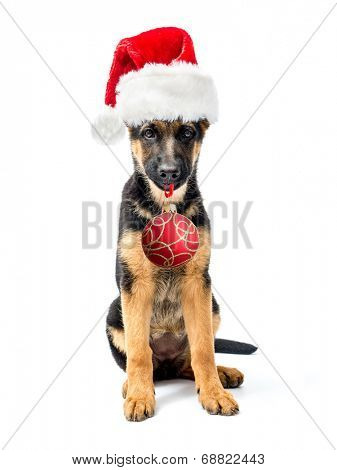 German Shepherd puppy sitting and wearing red Santa Clause hat holding christmas ball in the muzzle shot on white poster