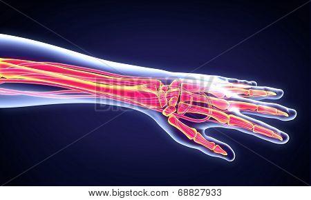 Human Hand Anatomy Illustration