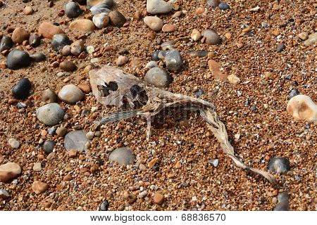 Skeleton Of A Smooth Dogfish On A Shingle Beach
