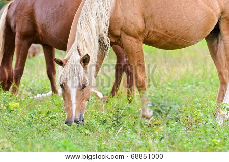 Brown horse mares graze in the pasture poster