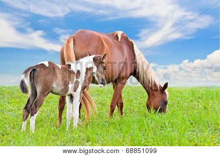 Brown white mare and foal with a blue sky background in a field of grass. poster