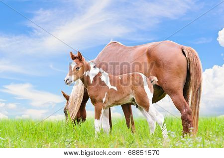 poster of Mare and foal with white brown graze in the pasture on blue sky background