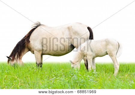 Horse mare and foal grazing in pasture isolated on white poster