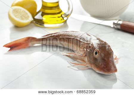 Single fresh red gurnard fish
