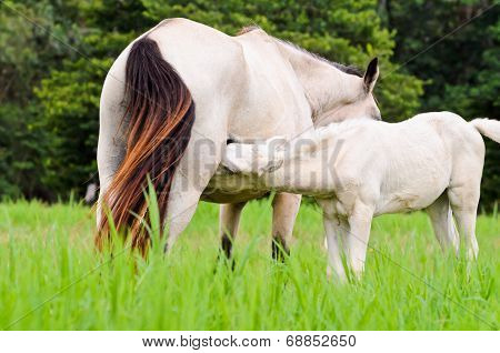 White horse foal suckling from mare in green meadow of Thailand poster