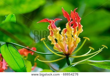 Gloriosa Superba Or Climbing Lily Flower
