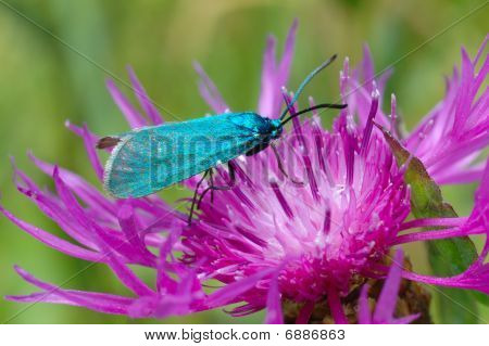The bright green butterfly Forester (Adscita statices) on a flower Centaurea pratensis poster