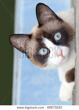 cat breed snowshoe looking at camera